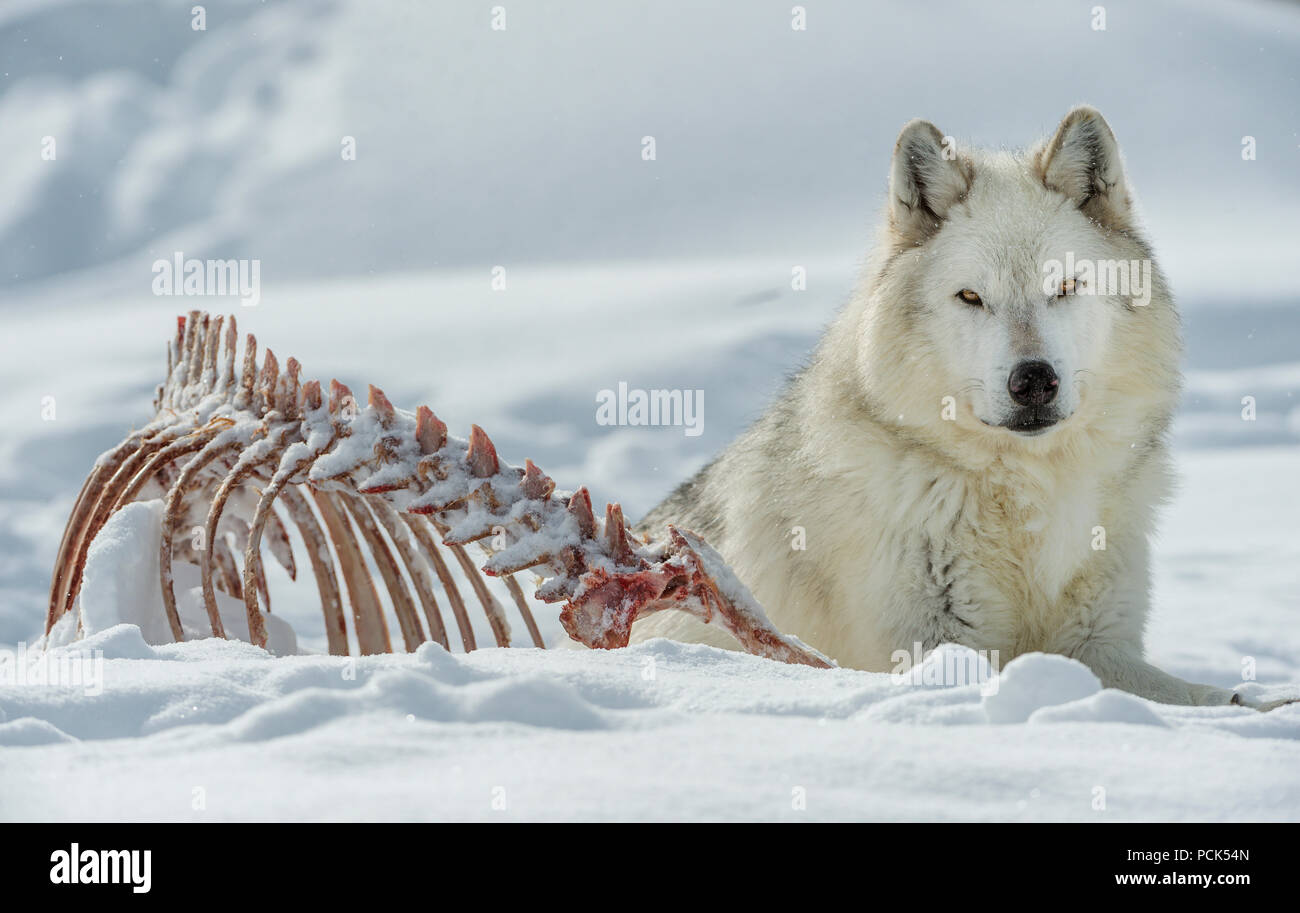 Gray wolf (Canis lupus), resting near animal carcass, W USA, by Bill Lea/Dembinsky Photo AssocStock Photo