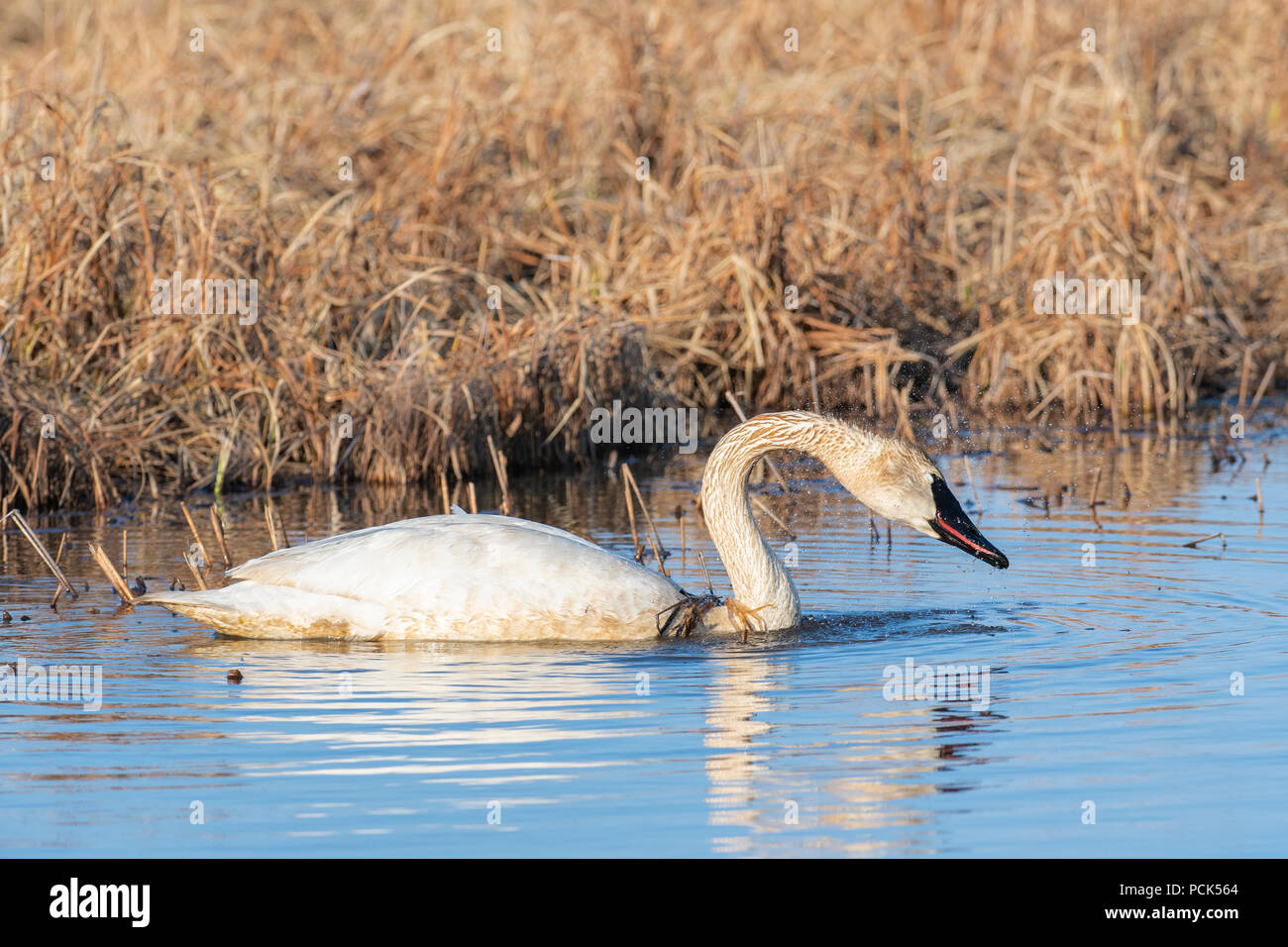 Trumpeter swans (Cygnus buccinator) Crex Meadows Wildlife Management Area, Spring, WI, USA, by Dominique Braud/Dembinsky Photo Assoc - Stock Image