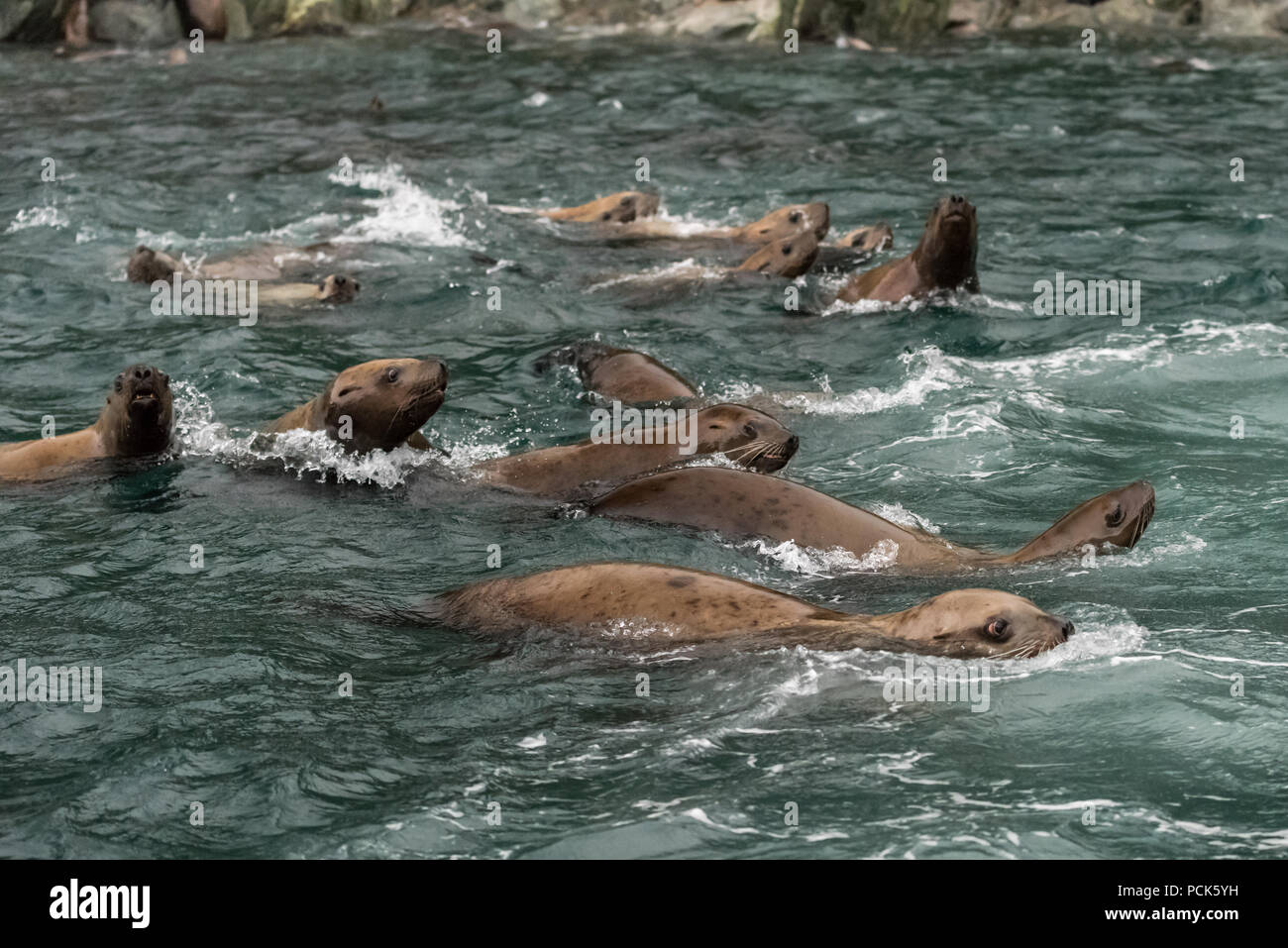 A group of Steller sea lions (Eumetopias jubatus) swimming in the ocean off the coast of Alaska, USA. - Stock Image