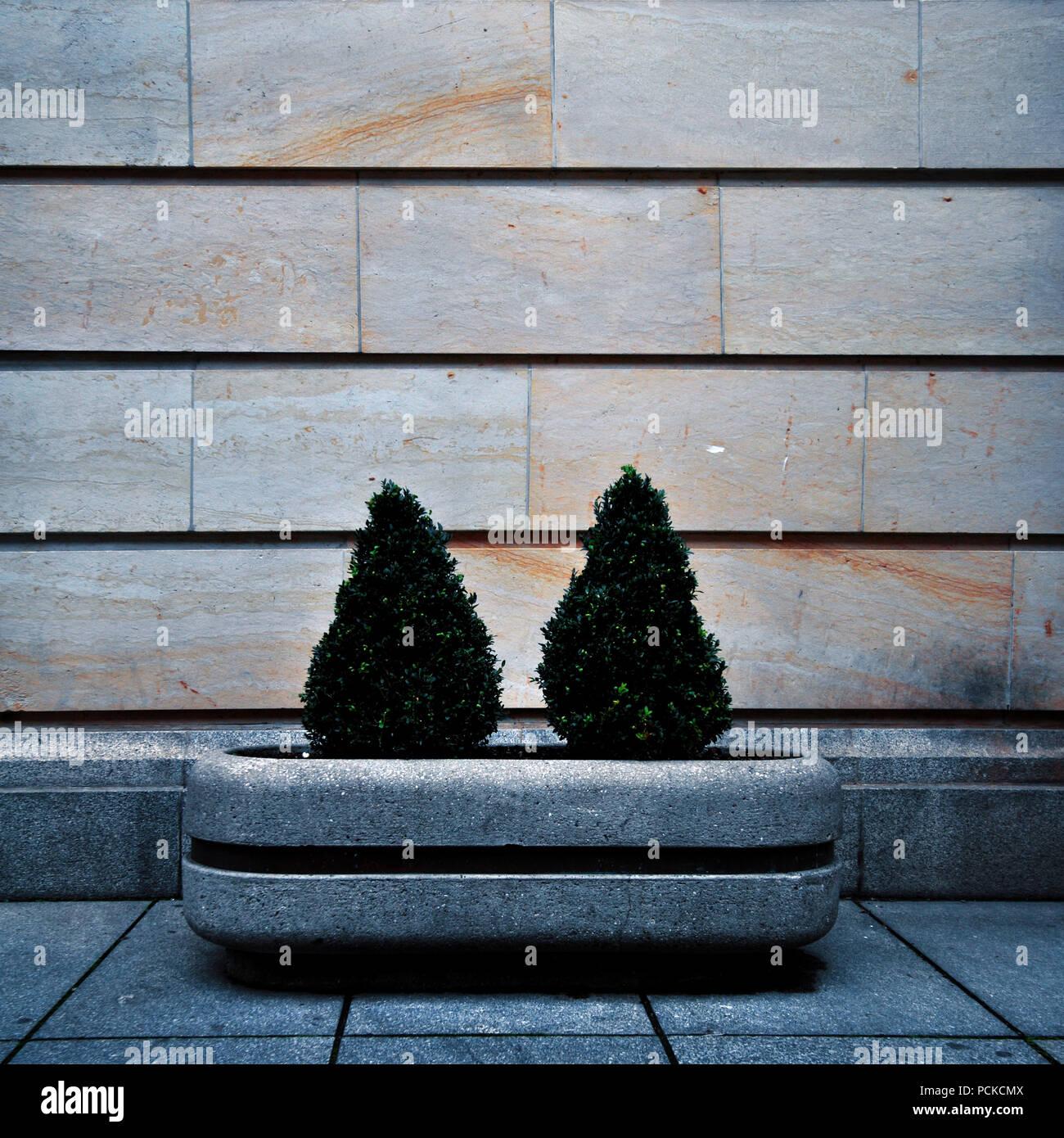 boxwood,flower pot - Stock Image