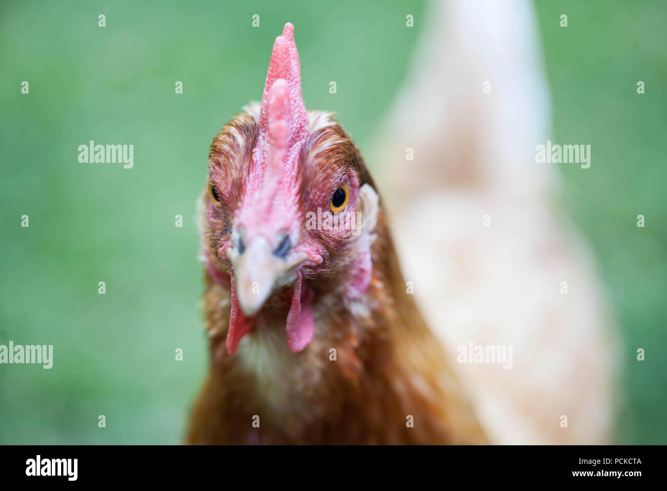 Backyard Chickens Hybrid Breeds - Stock Image