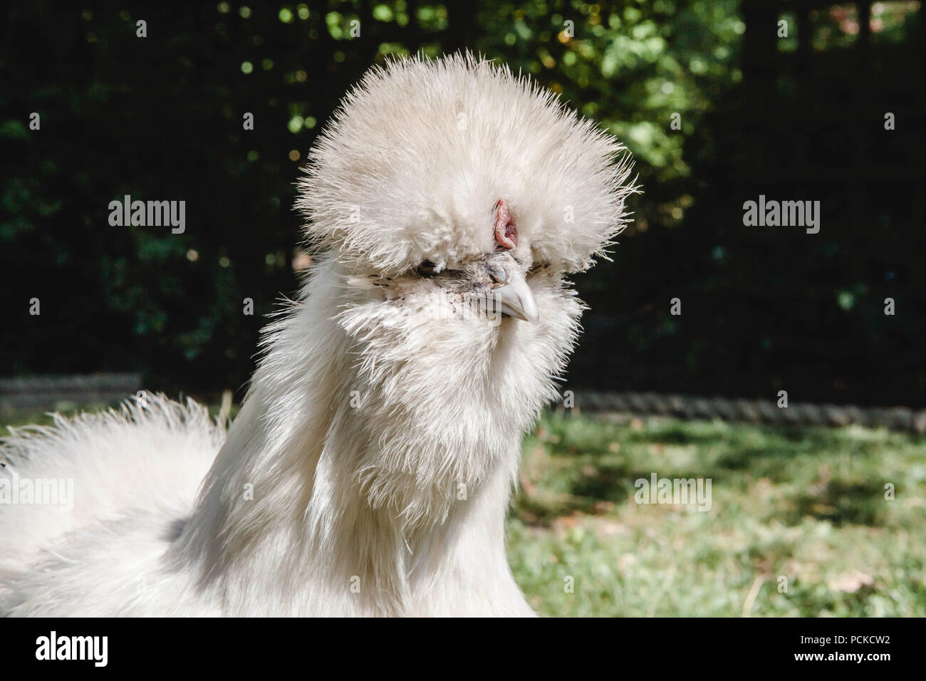 White Silkie Pet Chicken - Stock Image