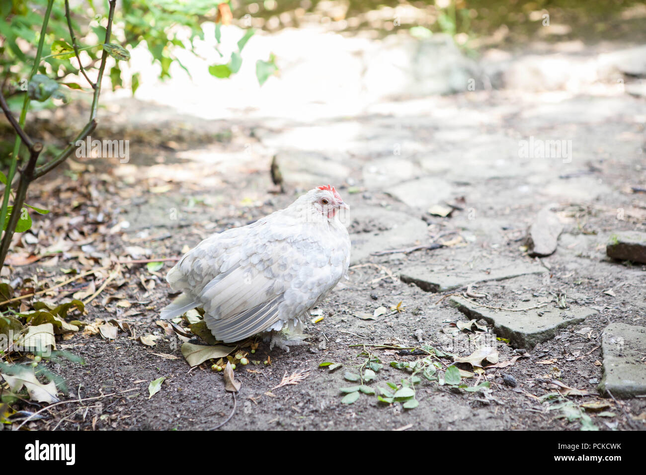 Sablepoot Hen Chicken - Stock Image