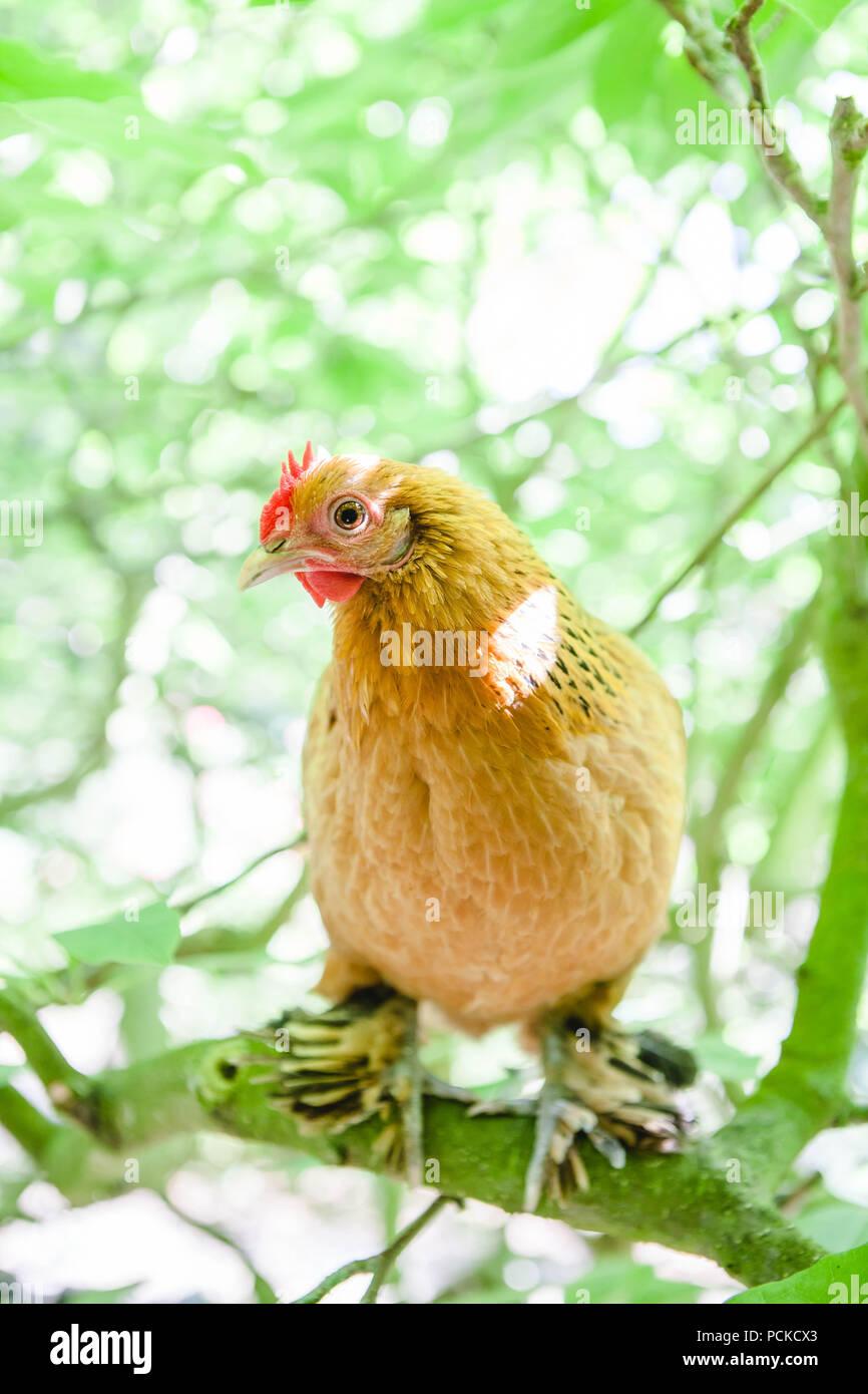 Sablepoot Hen Chicken Stock Photo