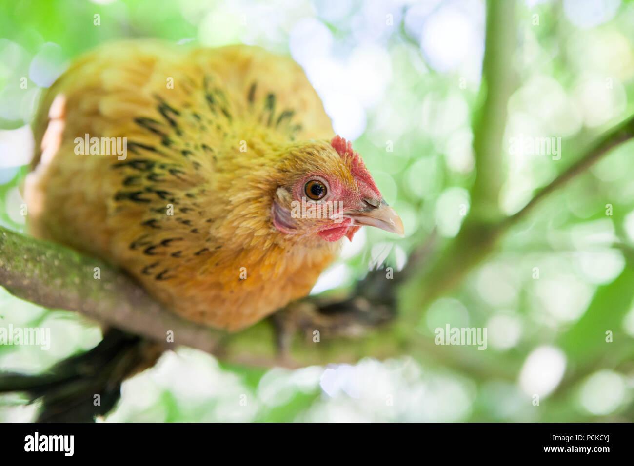 Sablepoot Hen Chicken - Stock Image
