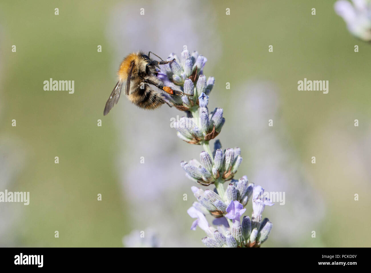 Bee on Lavender - Stock Image
