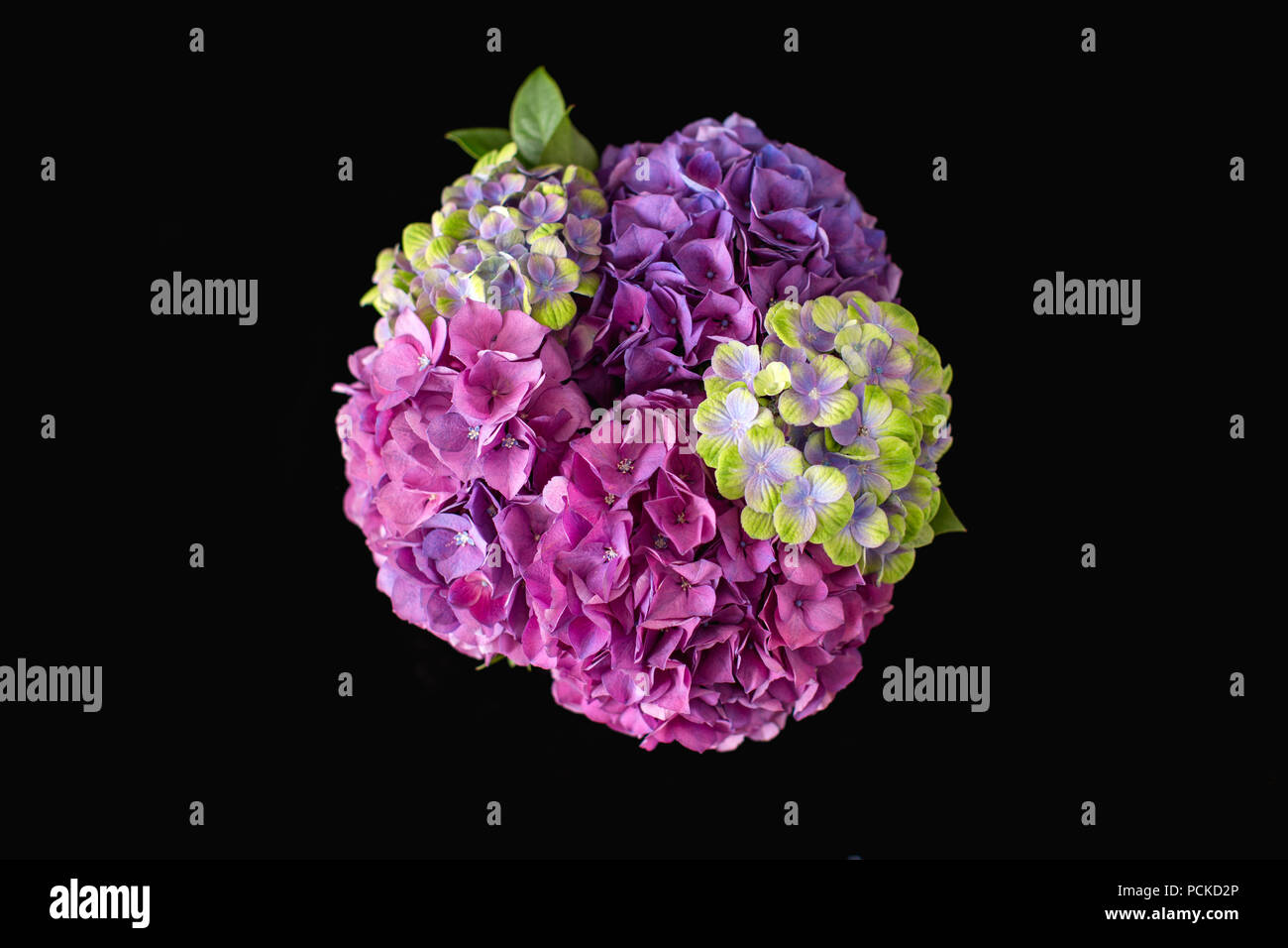 A vivid colourful (colourful) bouquet (bunch) of pink, purple and yellow Hydrangeas seen from above on a black background - Stock Image