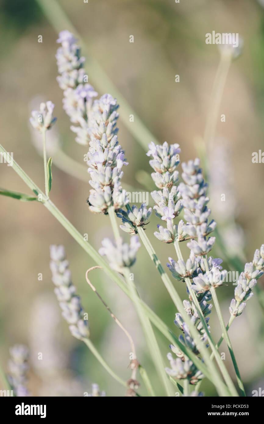 Lavender plant - Stock Image