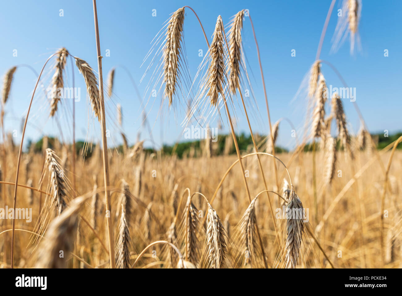 Ears of wheat against blue sky. - Stock Image