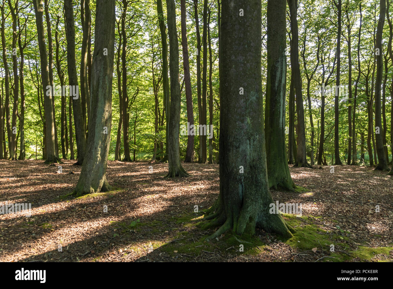 Primeval beech forest Stock Photo