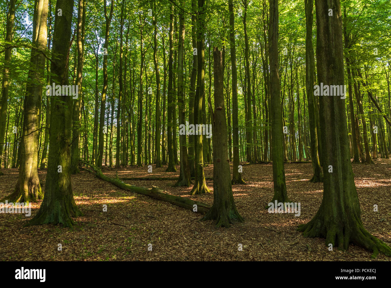 Primeval forest in north Europe - Stock Image