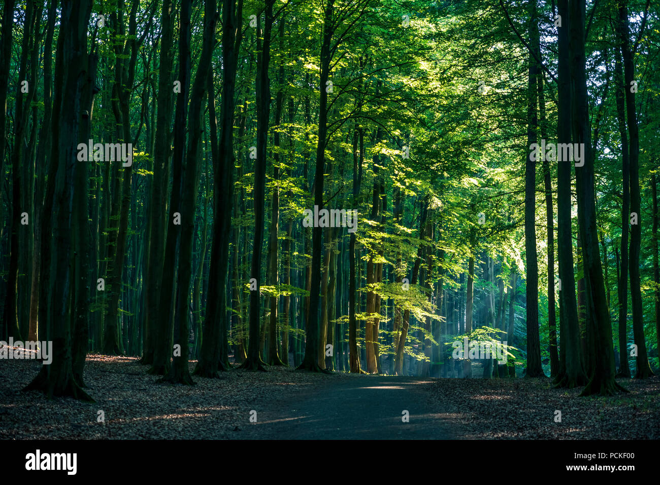 Beautiful and thick beech forest in summer. - Stock Image