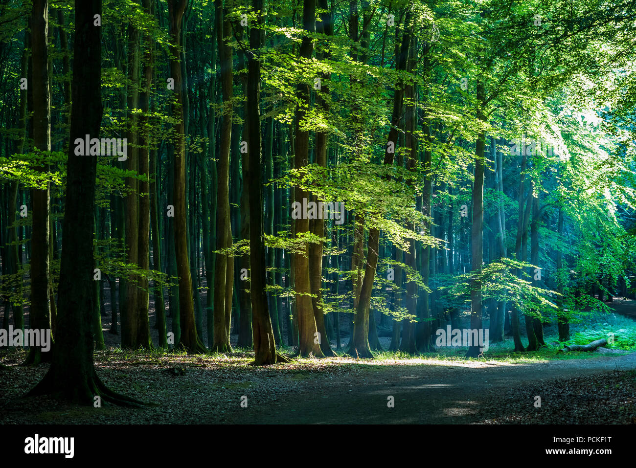 Scenic view of the path through heart of the beech forest at Jasmund National Park. - Stock Image