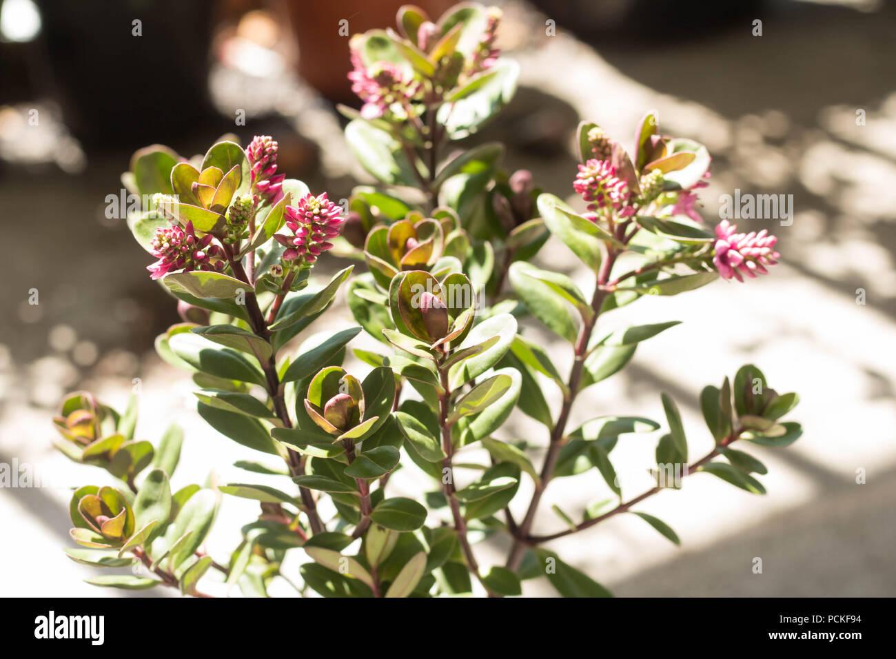 Urban spaces = Natural light across a Pink Hebe on a small urban balcony garden. - Stock Image