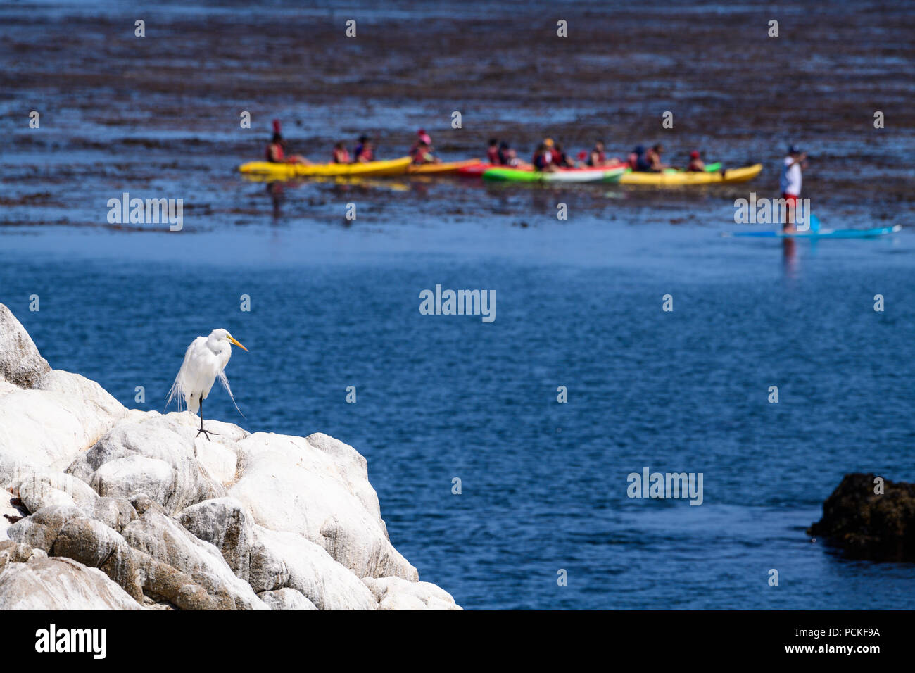 A Great Egret watches one of the kayak tours are a popular tourist activity in the Pacific Ocean along the coast of Pacific Grove and Monterey. - Stock Image