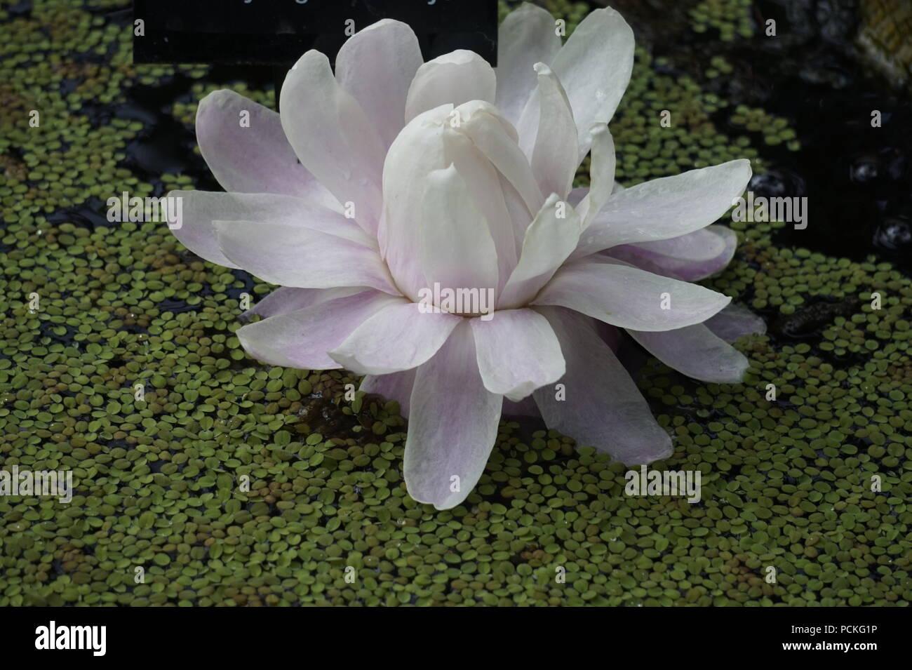 national flower of guyana stock photos national flower of guyana