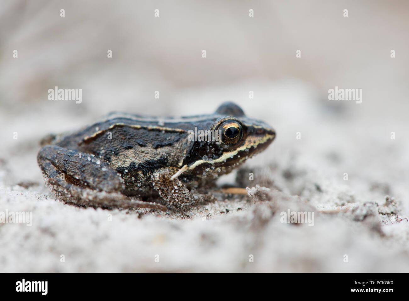 Young Moor frog (Rana arvalis), Emsland, Lower Saxony, Germany - Stock Image