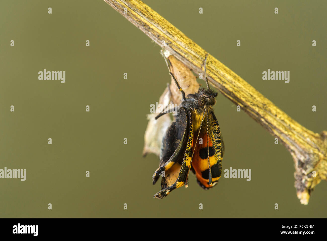 Little fox (Aglais urticae), newly hatched butterfly unfolding wings, Switzerland - Stock Image