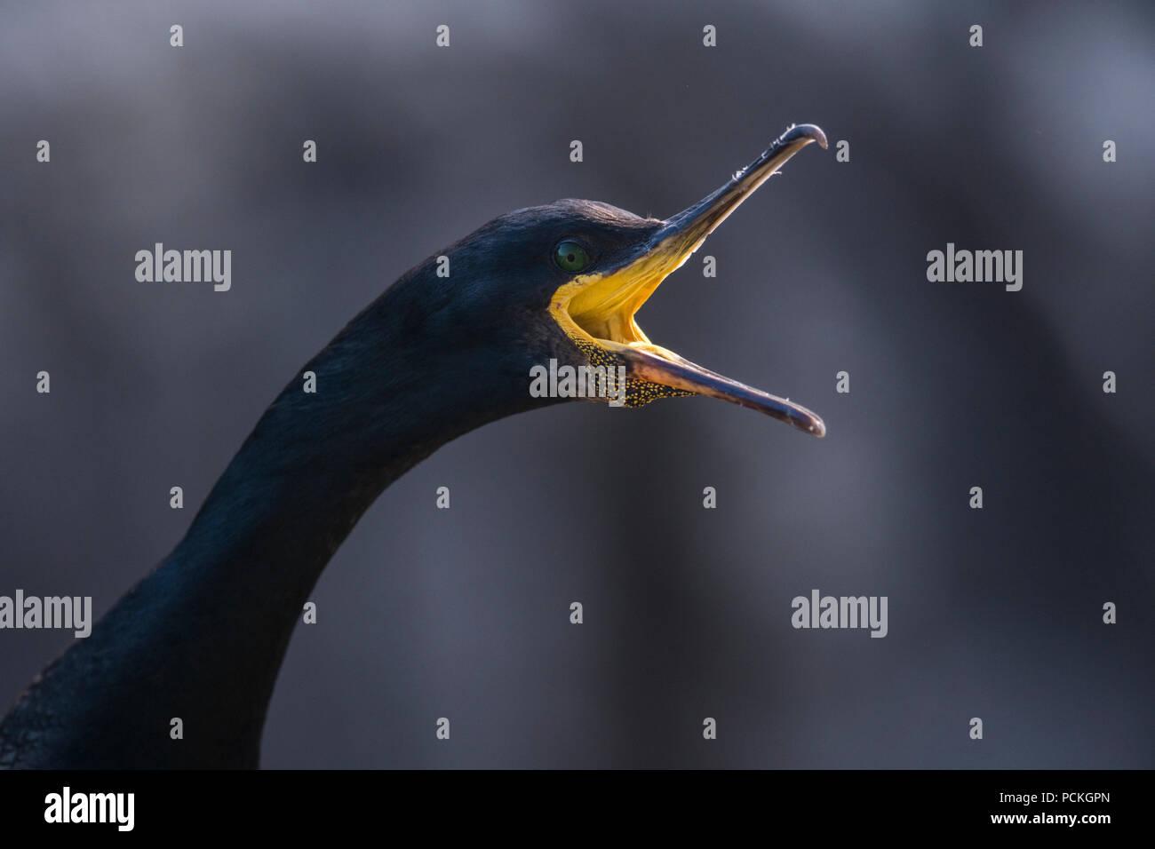 Close-up of an open mouthed European Shag (Phalacrocorax aristotelis), Lunga, Scotland - Stock Image