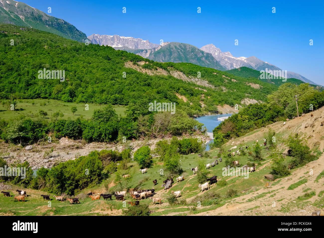 Goat herd, Vjosa river, Upper ...