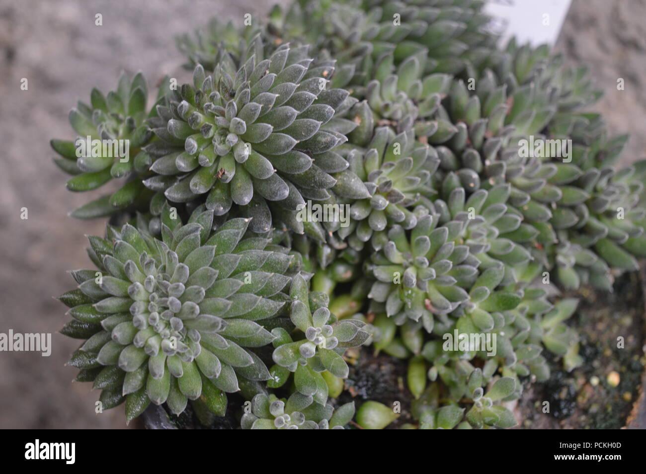 Aizoaceae - Stock Image