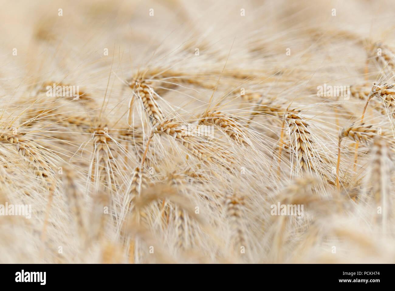 Barley (Hordeum vulgare), ears of corn in detail, North Rhine-Westphalia, Germany - Stock Image