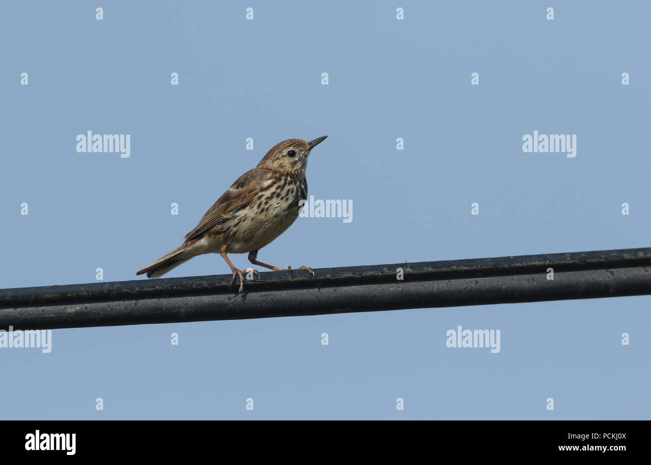 A pretty Meadow Pipit (Anthus pratensis) perching on a cable against a blue sky. Stock Photo