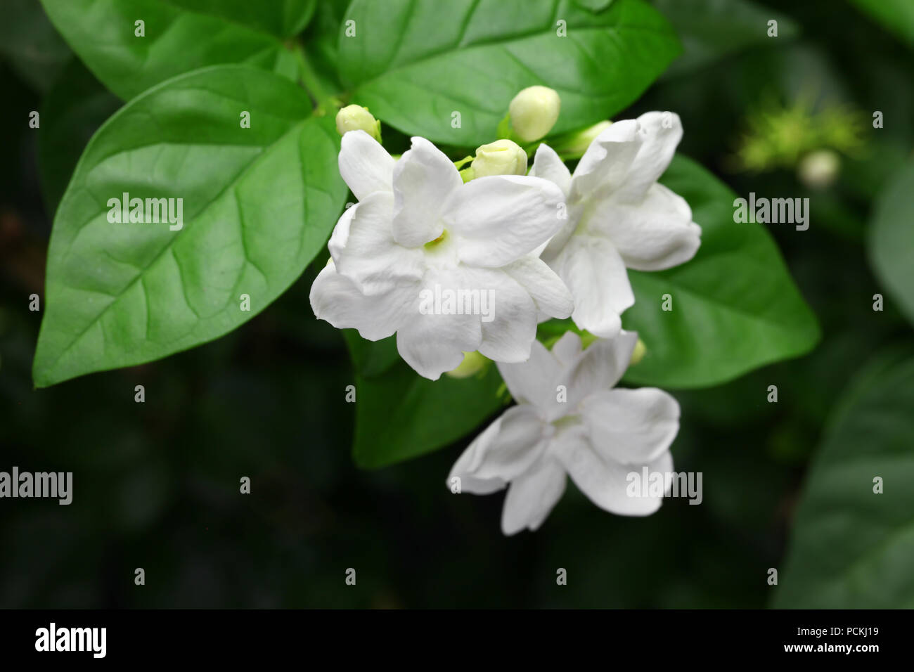 Jasmine Tea Flower Arabian Jasmine Jasminum Sambac Stock Photo