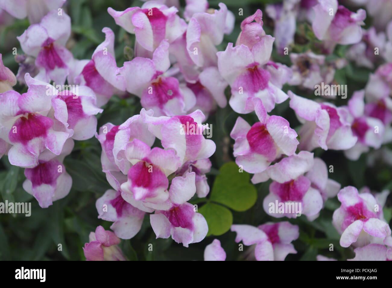 Dragon Flowers In A Garden Stock Photo 214331784 Alamy