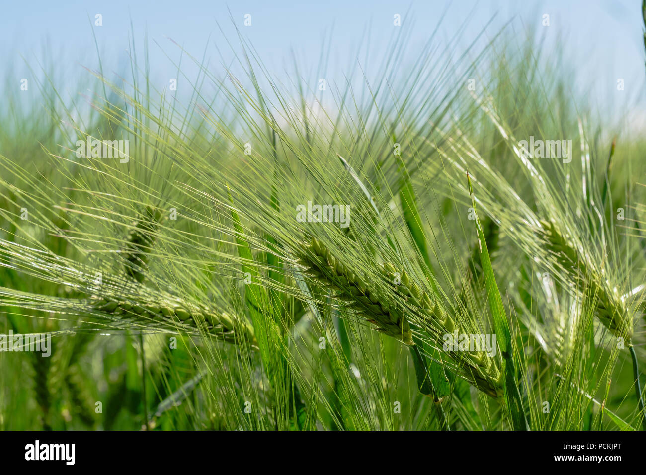 Ears of corn in the field, not yet ready for the harvest. Corn fields in canton Vaud, Switzerland. - Stock Image