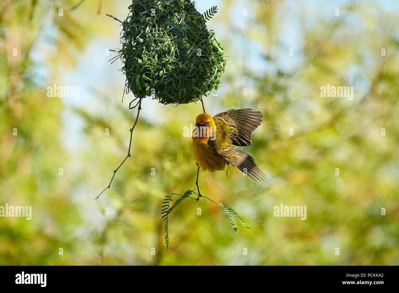 Cape Weaver building nest in Camel Thorn tree - Stock Image