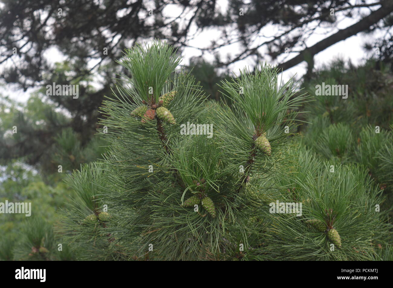 Pinecones - Stock Image