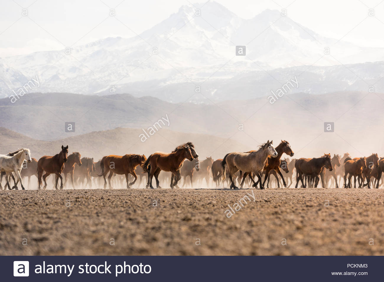 Erciyes mountain (ancient volcanic mountain), close to Cappadocia / Kapadokya region, is home to wild horses also called 'Yilki horses' These horses r - Stock Image