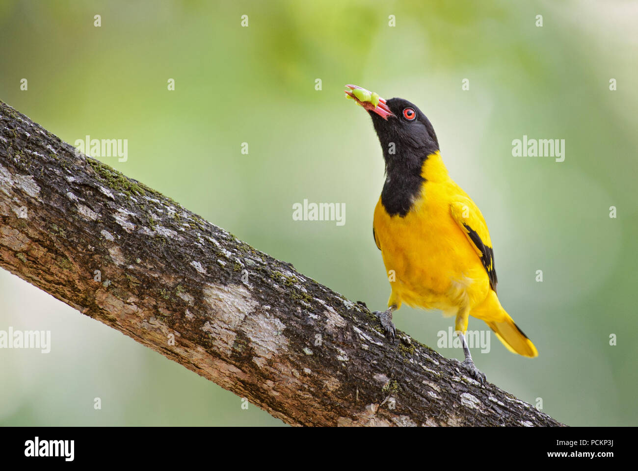 Indian Golden Oriole - Oriolus oriolus kundoo, beautiful yellow and black bird from Asian forests and woodlands, Sri Lanka. - Stock Image