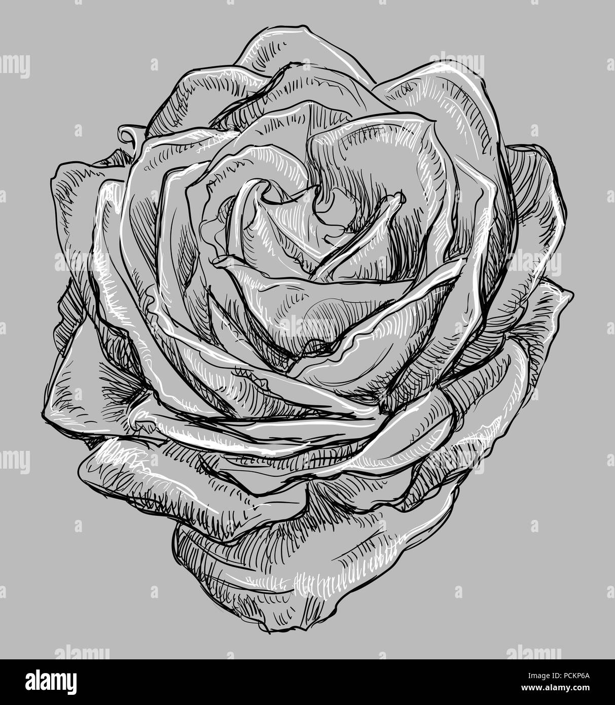 rose drawing black and white stock photos images alamy