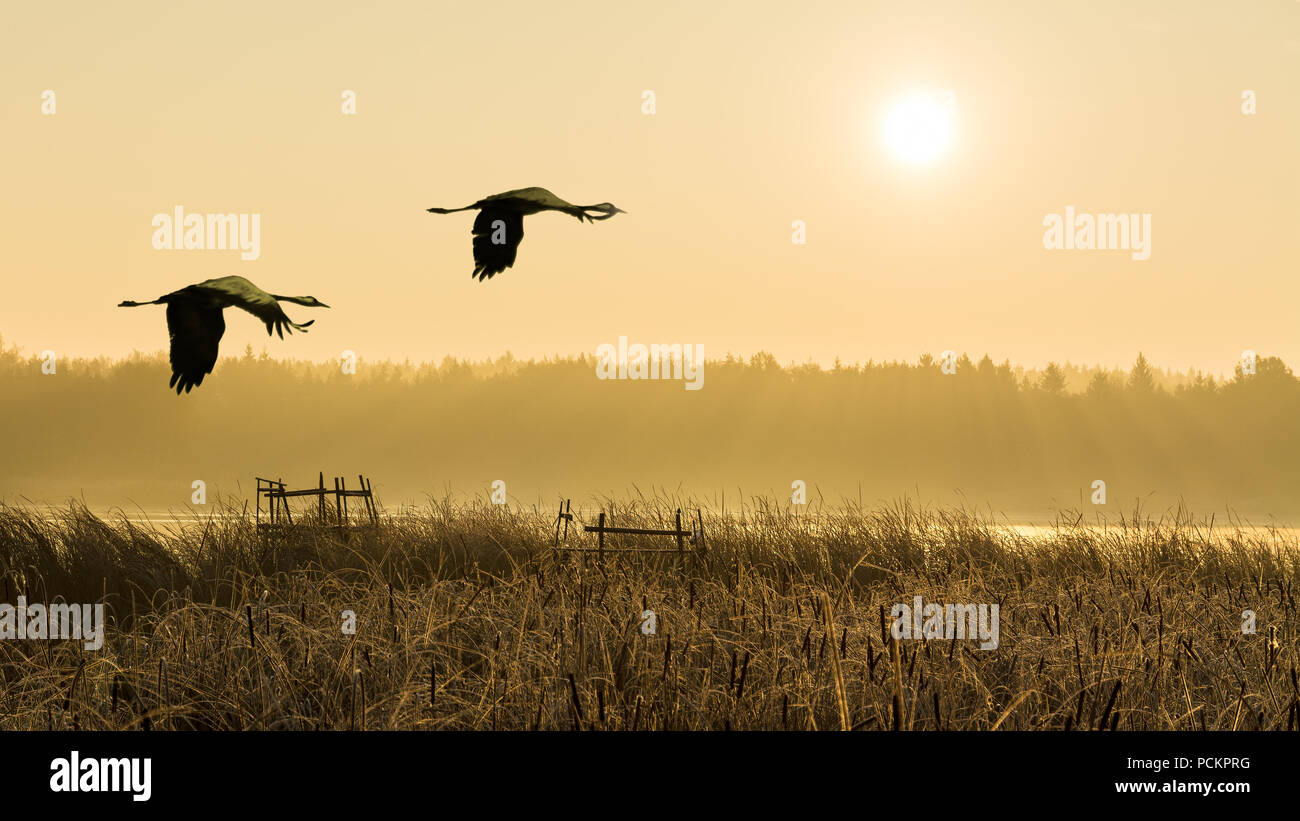 Pair of flying gray herons at sunrise, water, reeds. Ardea cinerea. Couple of wading birds in flight. Romantic landscape, forest, fog. Pond lit by sun. Stock Photo