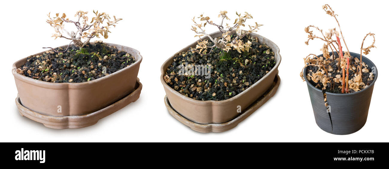 Houseplant Dry Bonsai Tree In Broken Plastic Flowerpots For Garden Decoration Isolated On White Background Stock Photo Alamy