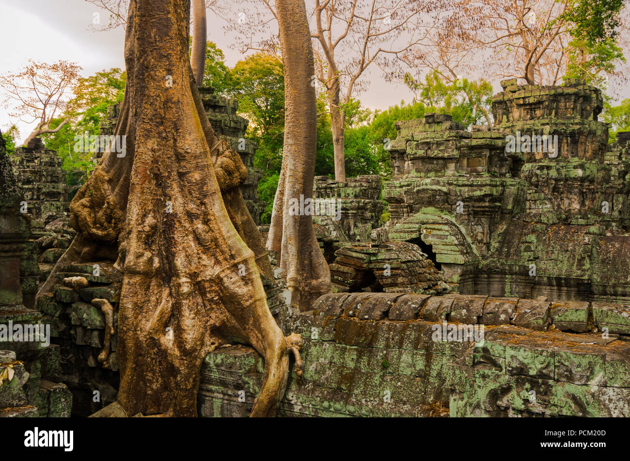 Jungle trees have overgrown the rooftops of Ta Phrom temple in Angkor, Cambodia. - Stock Image