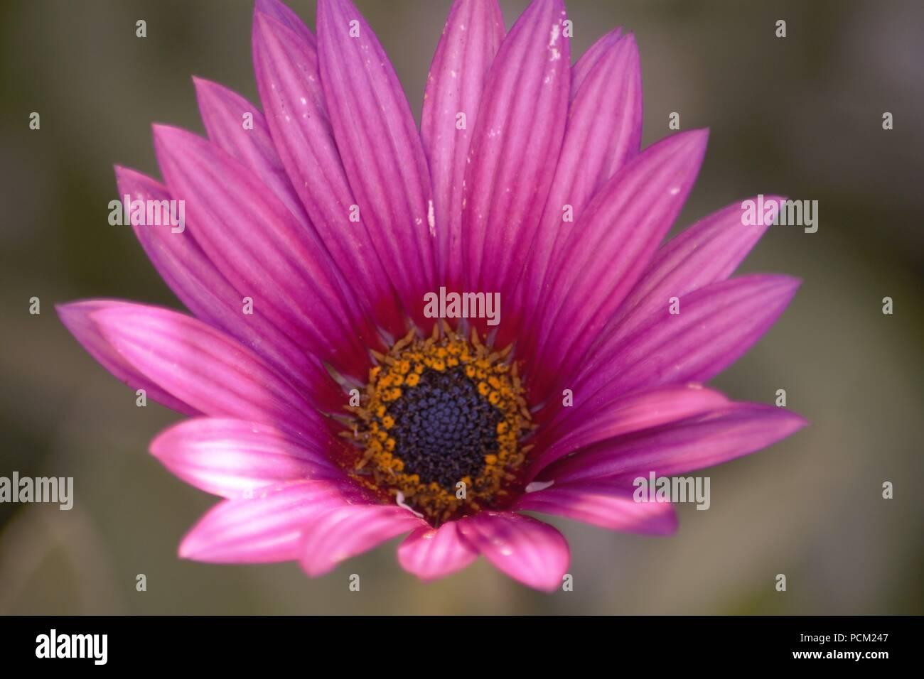 Sundays River Daisy; Dimorphotheca ecklonis - Stock Image