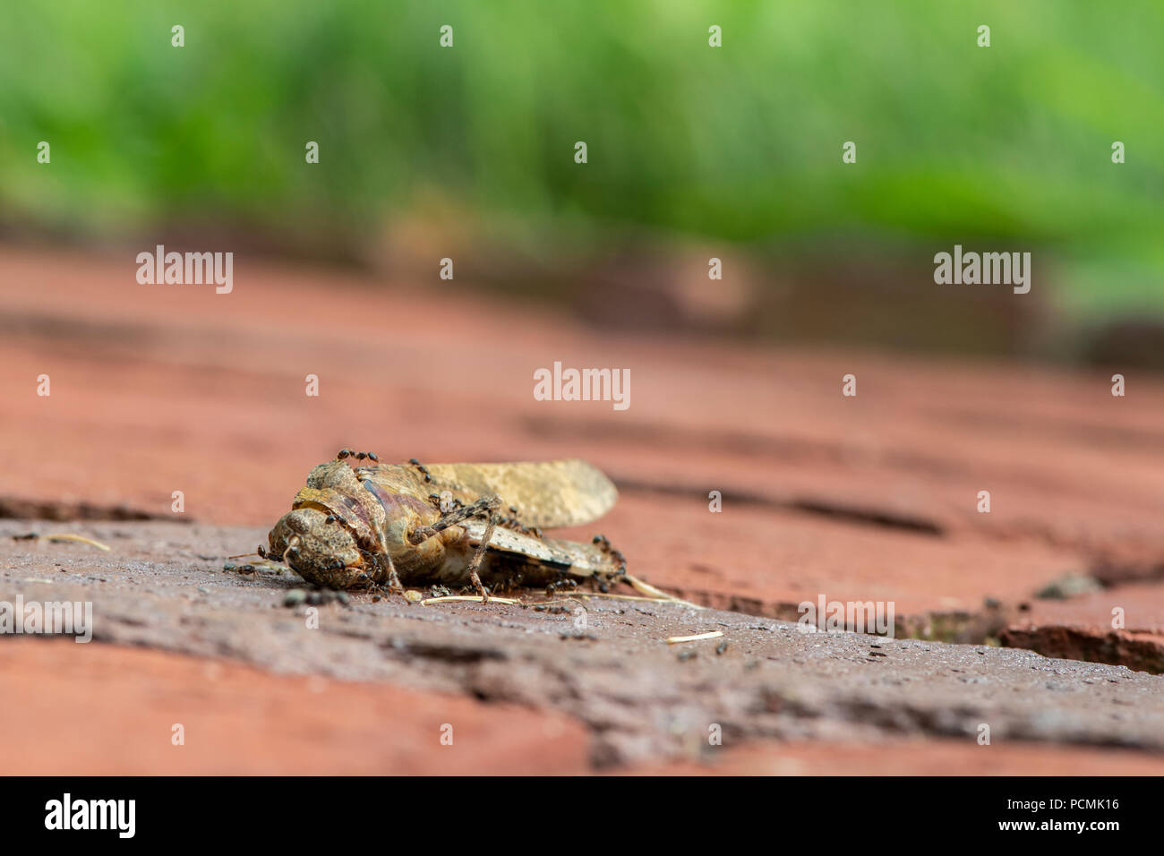 Ants eating a dead grasshopper - Stock Image