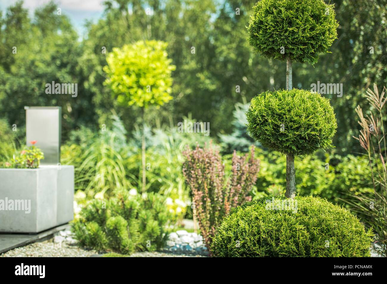 Topiary Art of Clipping Shrubs and Trees in the Garden. Sphered Thuja. Gardening Photo Theme. - Stock Image