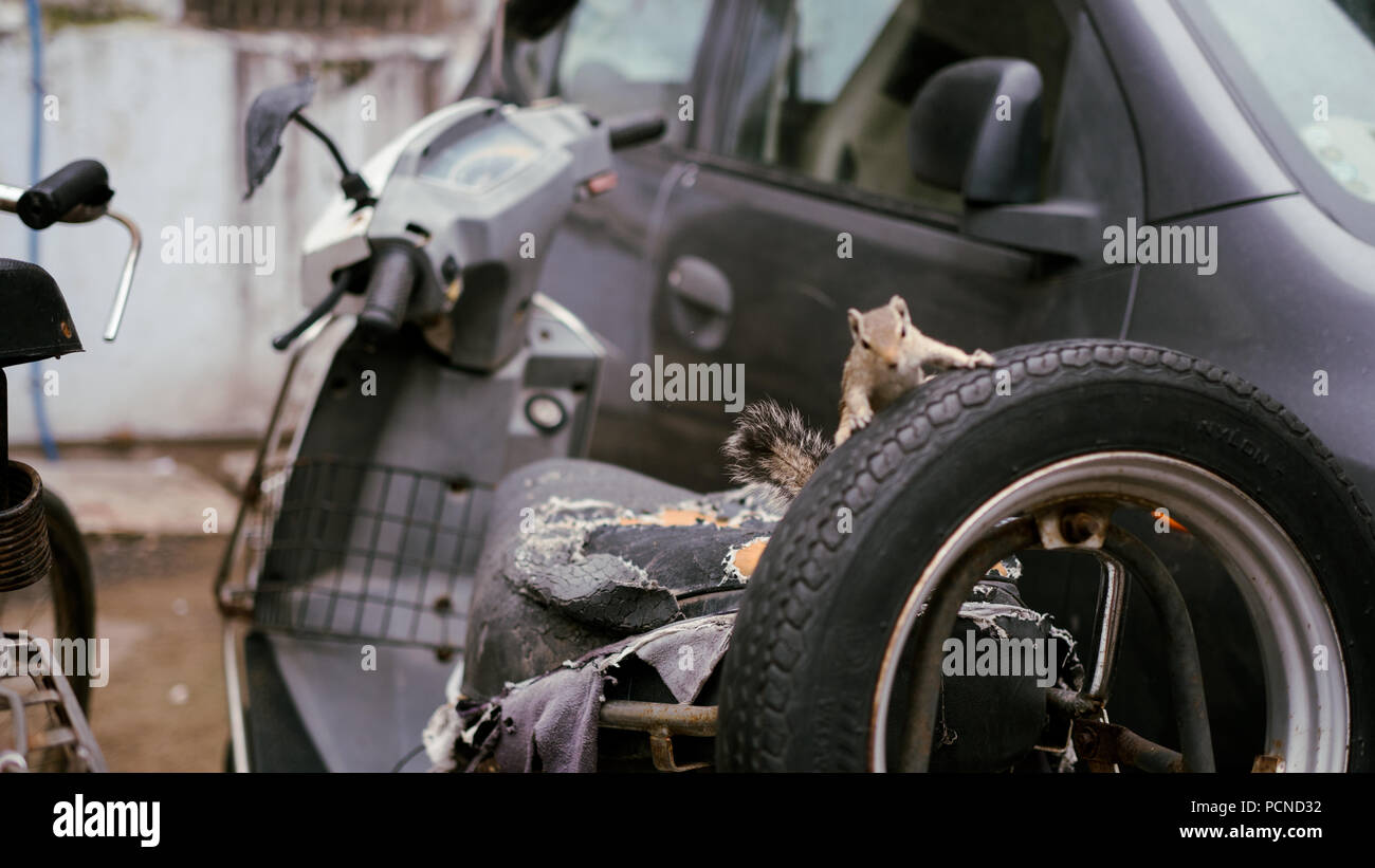 A Chipmunk explores a scooter in Ahmedabad, India - Stock Image