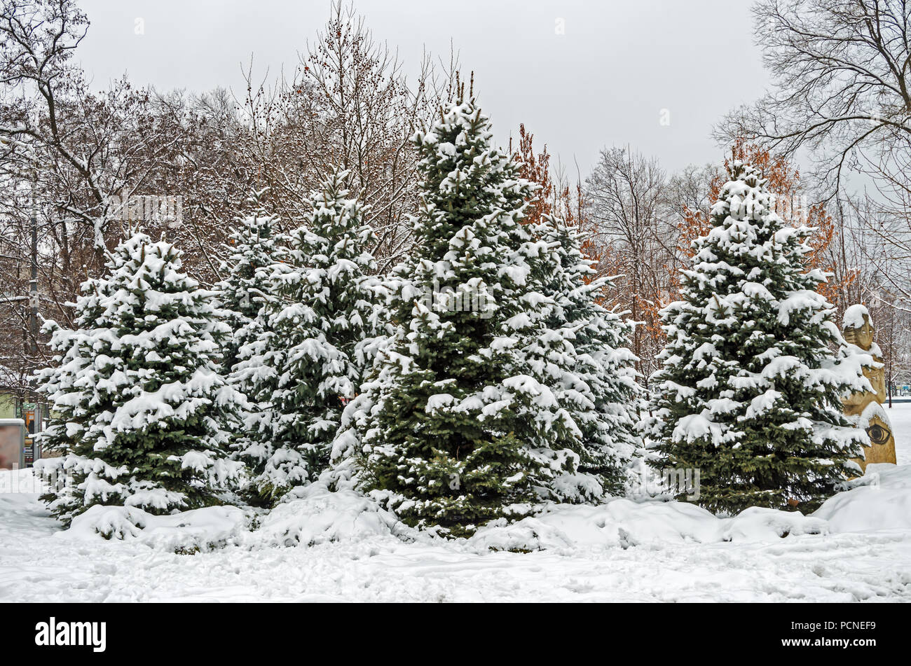 Frosty January snow covered grove of young spruces in the city park - Stock Image