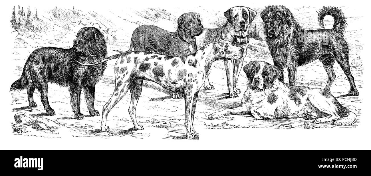 various breed of dogs, digital improved reproduction of an historical image from the year 1885 - Stock Image