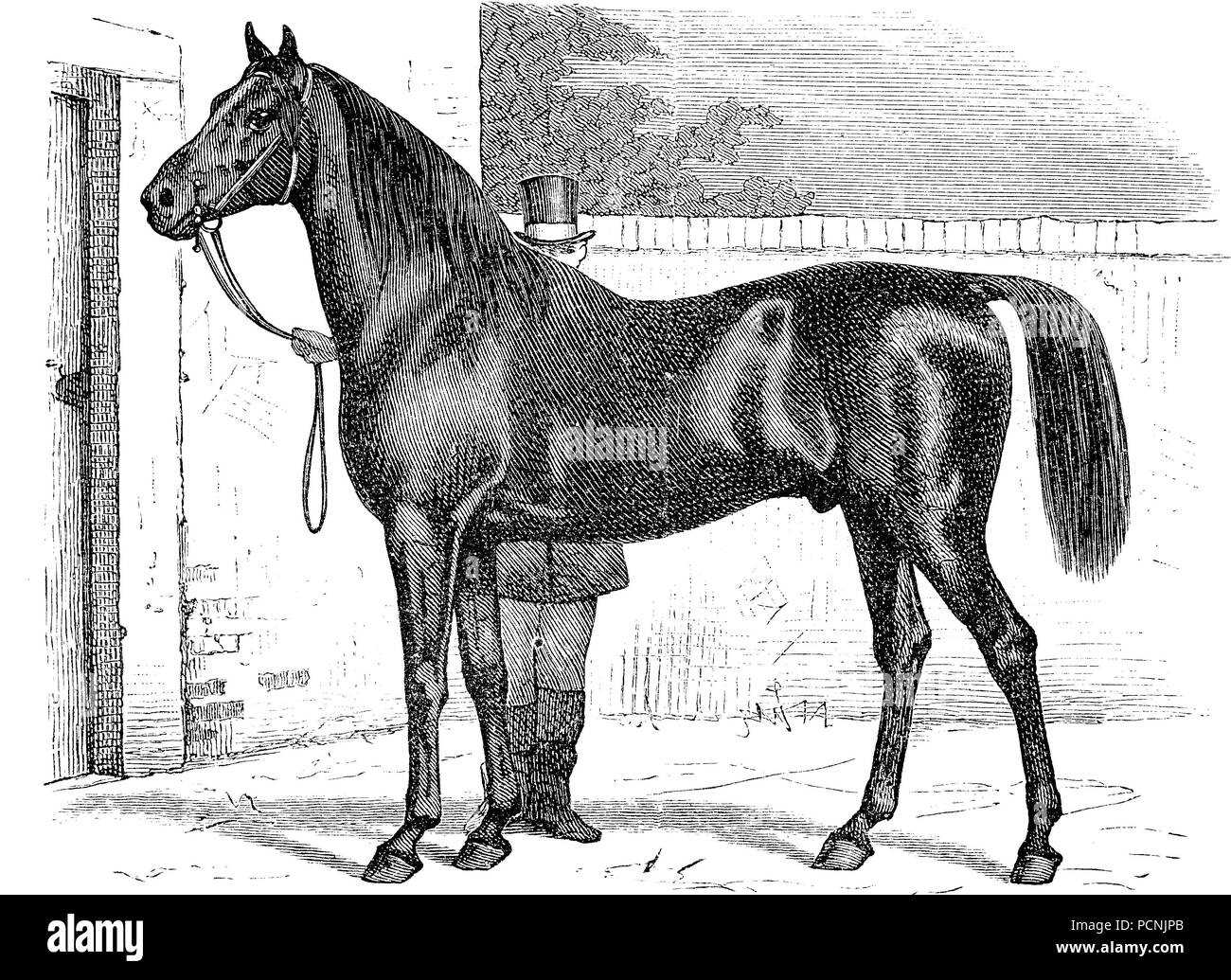 horse breed, Trakehner, digital improved reproduction of an historical image from the year 1885 - Stock Image