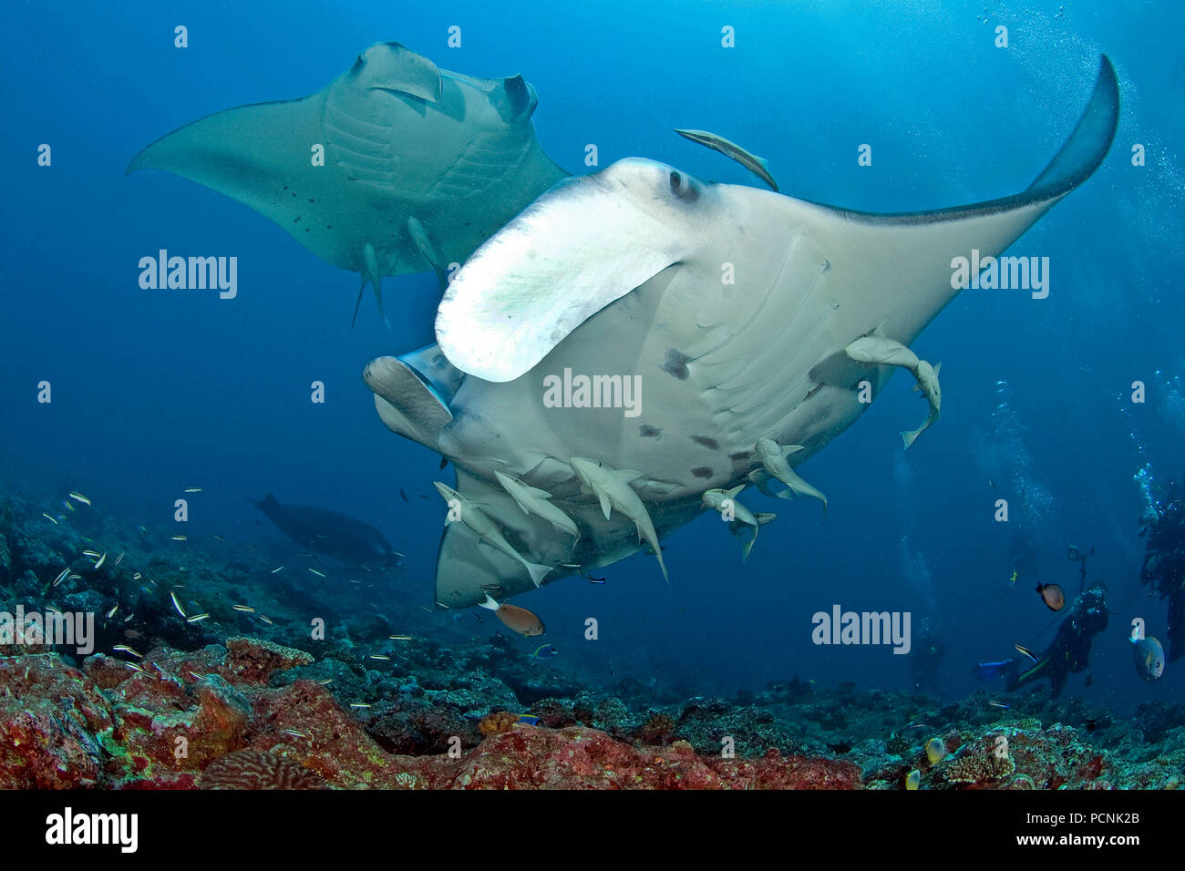 Two Giant oceanic manta rays (Manta birostris) with shark suckers (Remora remora), Yap, Micronesia Stock Photo