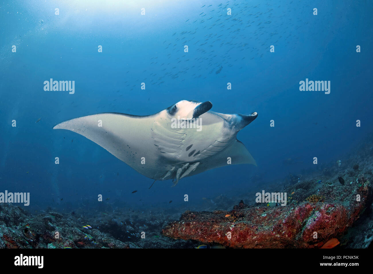 Giant oceanic manta ray (Manta birostris) with shark suckers (Remora remora), Yap, Micronesia - Stock Image
