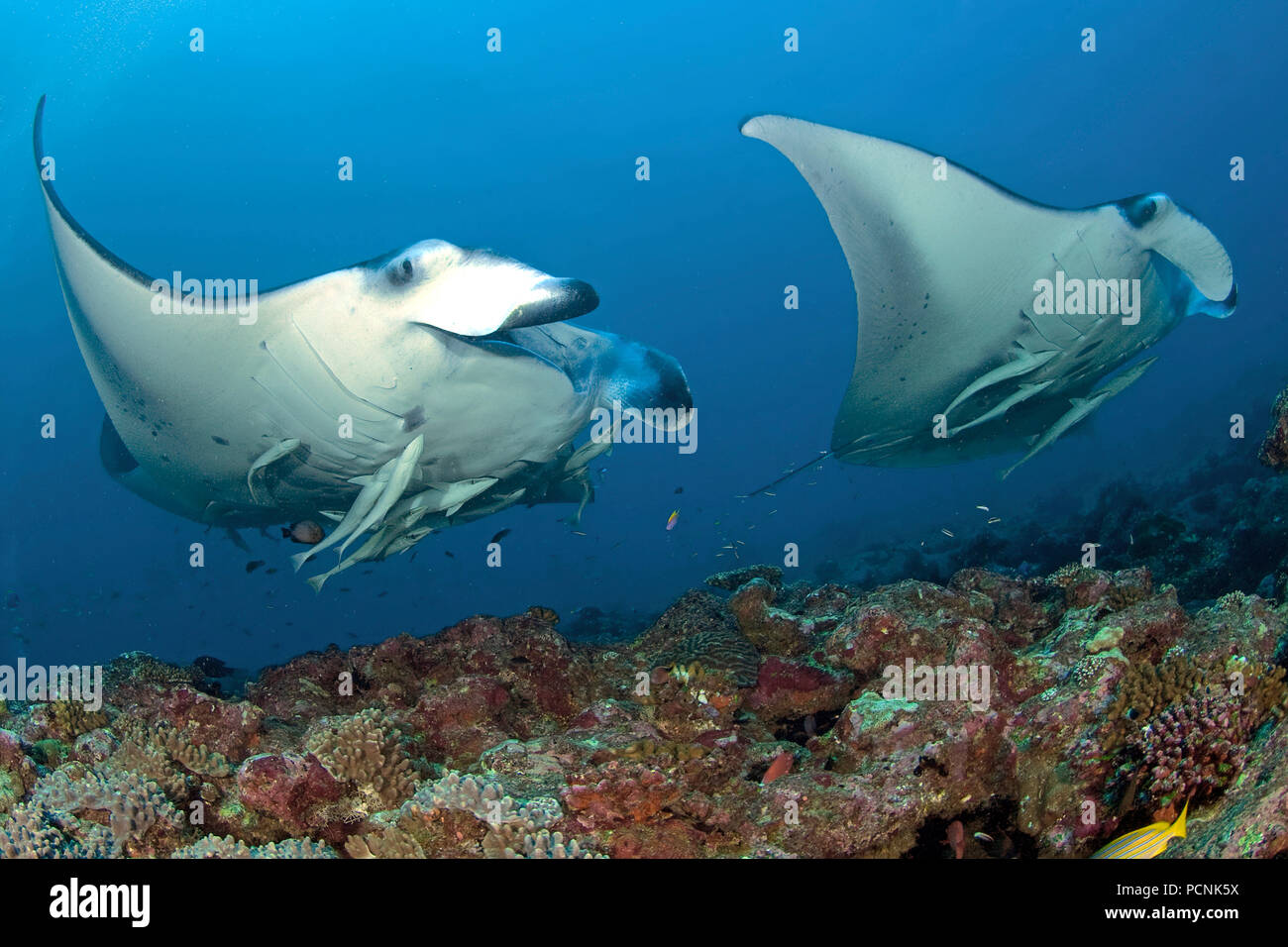 Two Giant oceanic manta rays (Manta birostris) with shark suckers (Remora remora), Yap, Micronesia - Stock Image