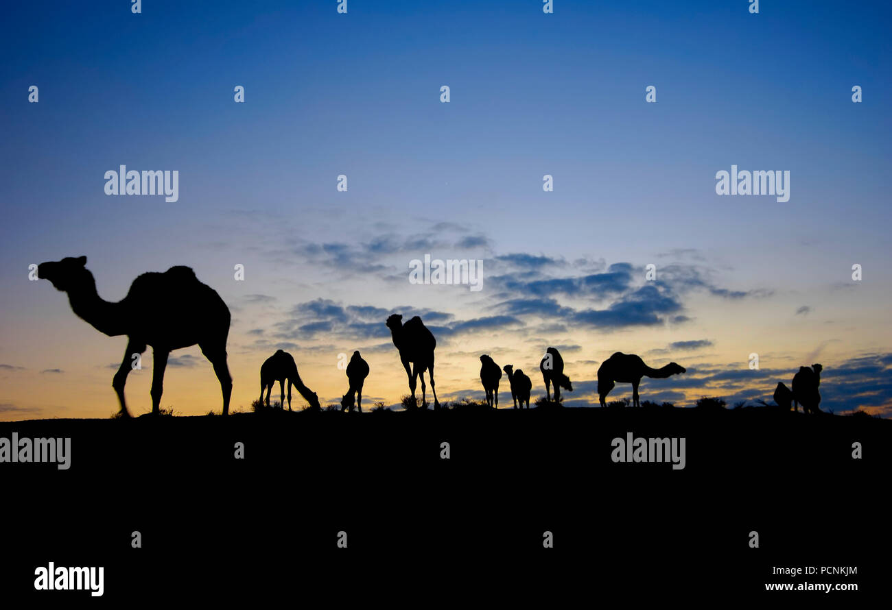 Israel, Negev desert, A silhouette of a herd of camels at sunset - Stock Image