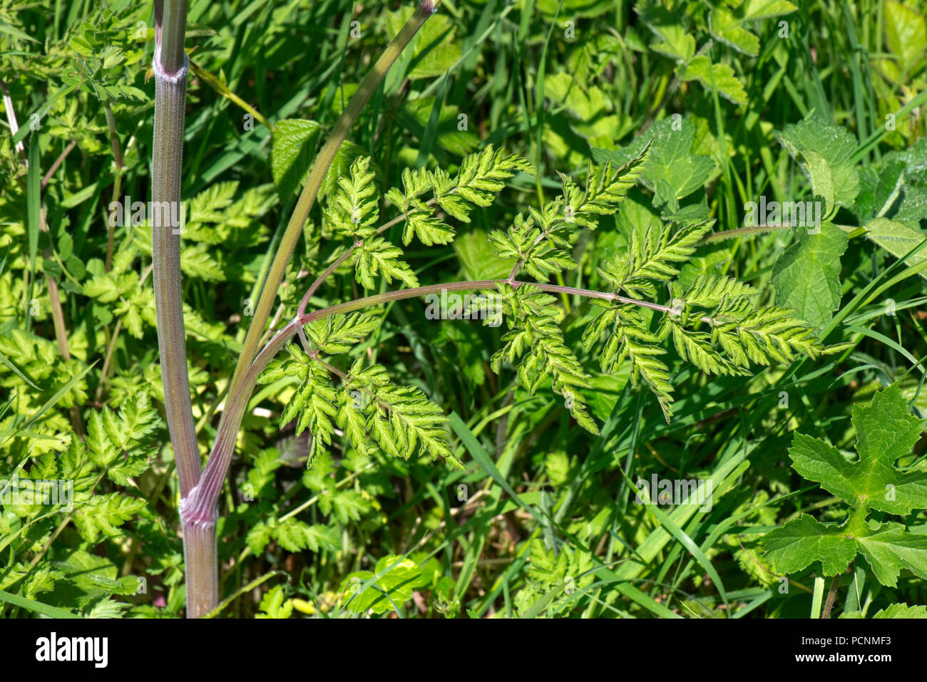 Cow parsley, Anthriscus sylvestris, foliage, green, fern-like, leaves on roadside verge, Berkshire, May - Stock Image